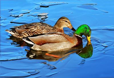Mallard Pair in Icy Pond