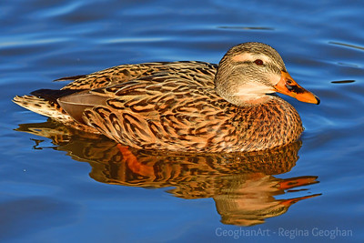 Mallard Hen Portrait on Blue