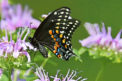 Black Swallowtail Butterfly and Bee Balm Blossoms