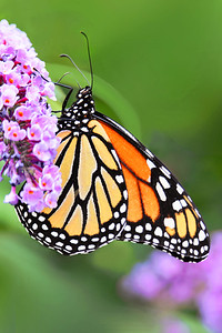 Monarch Butterfly on Pink Buddleia