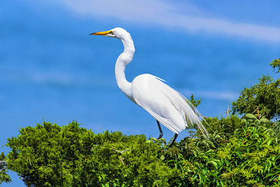 Treetop Great Egret