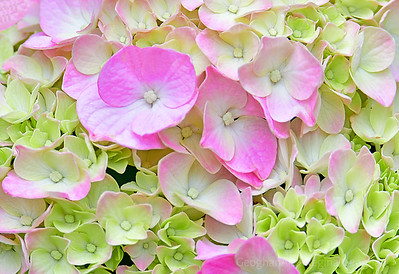 Hydrangea Blossom Pink and  Greenk