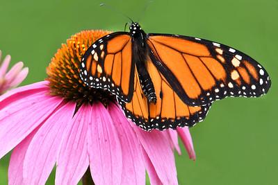 Open Winged Monarch on Purple Coneflower