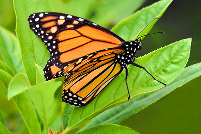 Monarch Butterfly on Green Leaves