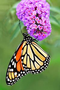 Monarch Butterfly on Pink  Butterfly Bush Flower
