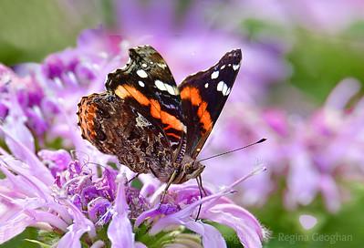 Red Admiral Butterfly on Purple Monarda