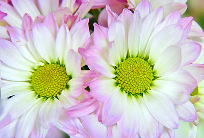 Daisy Mums Pink, White and Yellow