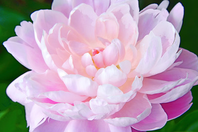 Peony in Pink Perfection
