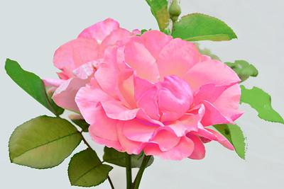 Pinklicious Rose on White