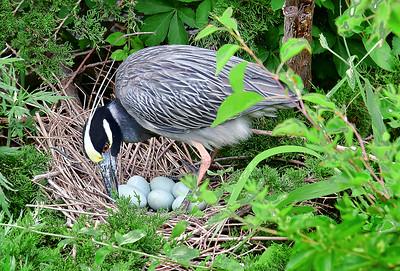 Yellow-crowned Night Heron Turning Eggs