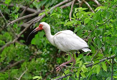 White Ibis in Breeding Plumage