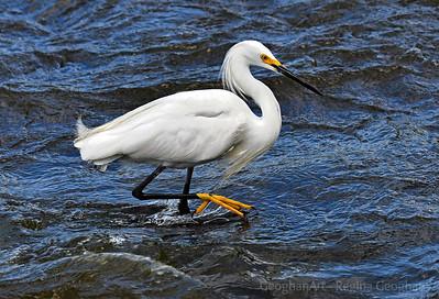 Snowy Egret Fishing for Dinner
