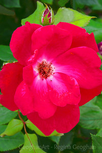 A Red Rose on Green