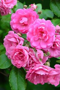 Pink Rose Blossom Cluster