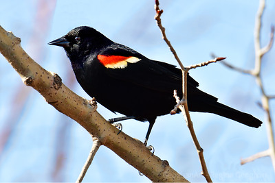Red-Winged Blackbird on Branch