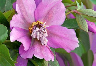 Pink Lenten Rose