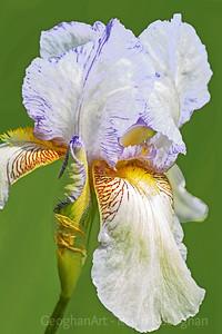 Tall Bearded Iris Wasatch