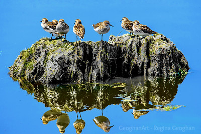 Least Sandpipers Taking the Sun