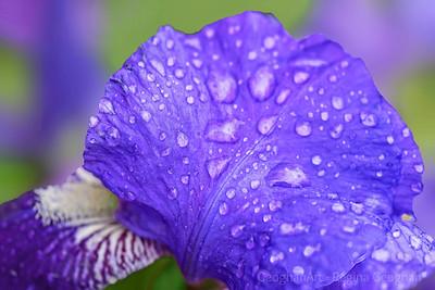 Raindrops on Iris Petals