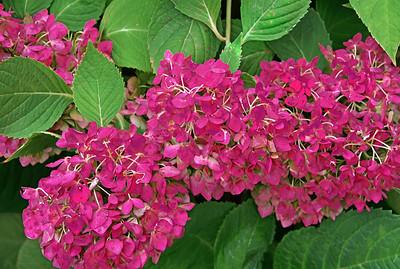 Hydrangeas - End of Season Beauty