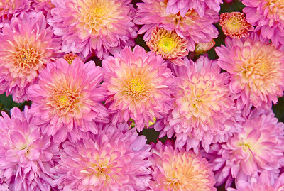 Mums in Pink and Yellow Beauty