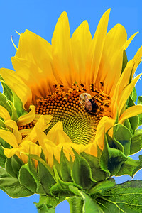 Sunflower Skky and Bumble Bee