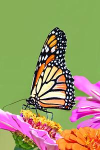 Monarch Butterfly in Zinnia Patch