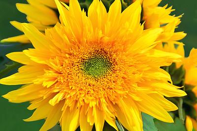 Teddy Bear Sunflower Portrait