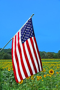 Sunflower Field and American Flag