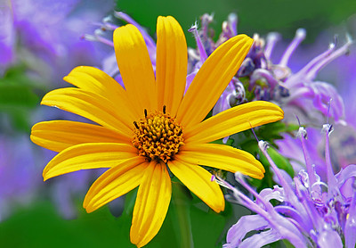 Oxeye Sunflower and Lavender Bee Balm