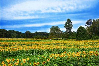 Sunflower Glory Days