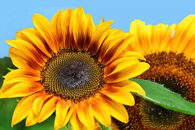 Big , Bold, Beautiful Sunflower Pair