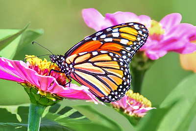 Monarch in a Zinnia Garden
