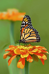 Monarch on Orange Gold Zinnia