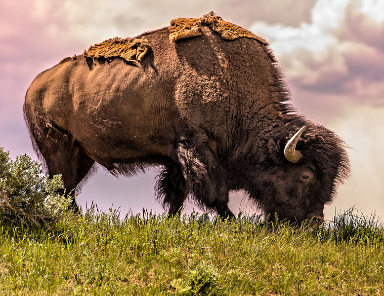 Bison Shedding In The Spring