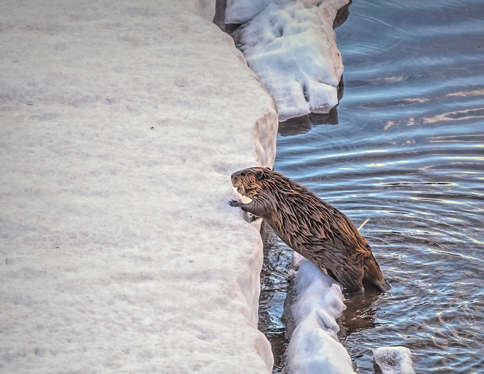 Cold Beaver