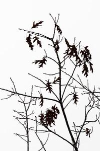 Oak Tree Winter Study 2