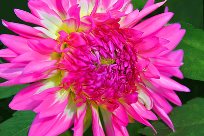 Pink and White Dahlia Flower