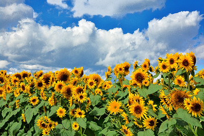 Autumn Sunflower Delight