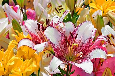 Asiatic Lilies in Full Bloom