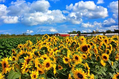 Sunflowers-Joyful Profusion
