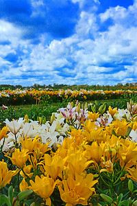 Lily Field Delight