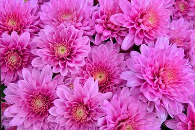 Chrysanthemums-Pink Perfection