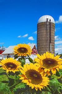 Sunflowers and Farm Silo