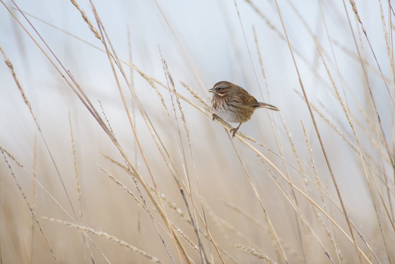 Sparrow in the Tall Grass