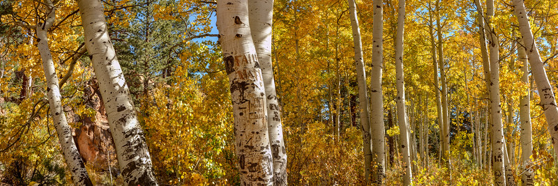 Aspen Grove with Etchings