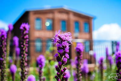 Magenta is everywhere in front of the restored Union Mills in Frederick, Maryland
