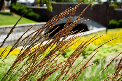 Tassels blow gently in the breeze along the Carroll Creek Park in Frederick, Maryland