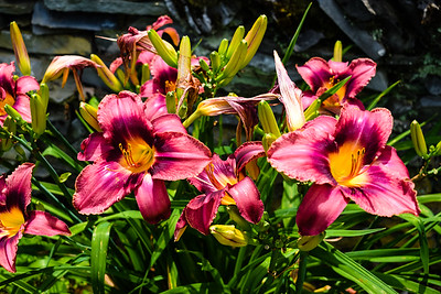 Lillies explode with color at Rose Hill Manor Park in Frederick, Maryland