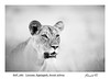Animal Themes; Animals in the Wild; Bush; Color Image; Copy space; Day; Desert; Endangered Species; Kgalagadi Transfrontier Park; Lion (Panthera leo); Nature; No People; Northern Cape Province; One Animal; Outdoors; Portrait; South Africa; Wildlife